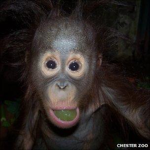 Bornean orangutan (Image: Chester Zoo)