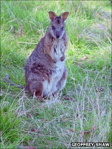 tarram wallaby