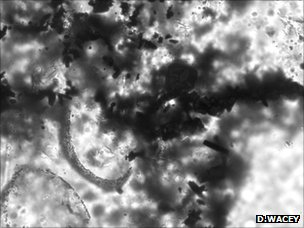 Parts of two microfossils occurring with numerous crystals of pyrite
