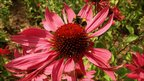 Close up of a flower and a bee in the Millennium Garden at Pensthorpe Nature Reserve