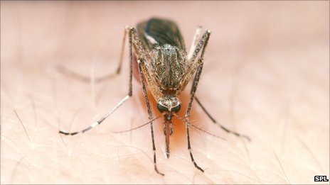 Mosquito sucking blood