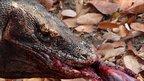 Komodo dragon eats prey (c) Gembong Nurrasa