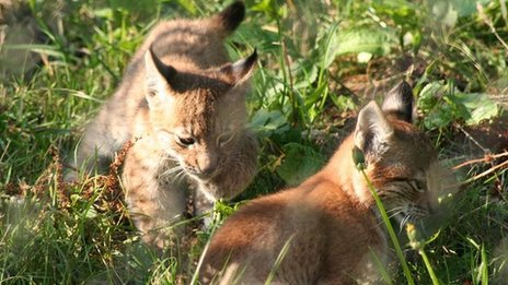 Pictures: Rare baby lynx playing hide and seek - CBBC ...