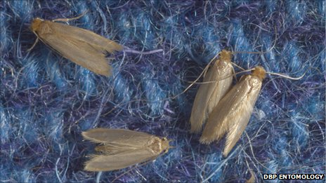Clothes moths