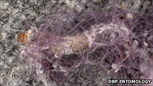 Clothes moth larvae in fabric