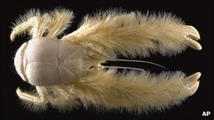A blind new species, distantly related to the squat lobster family