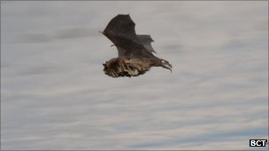 Daubenton's bat flying over water (c) BCT