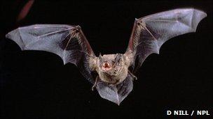 Noctule bat (c) Dietmar Nill, Naturepl