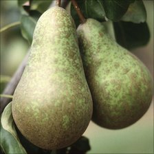pears hanging