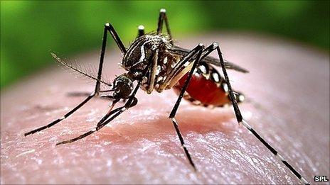 Aedes aegyptii
