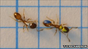 Temnothorax albipennis ants communicating (Image: Tom O. Richardson)