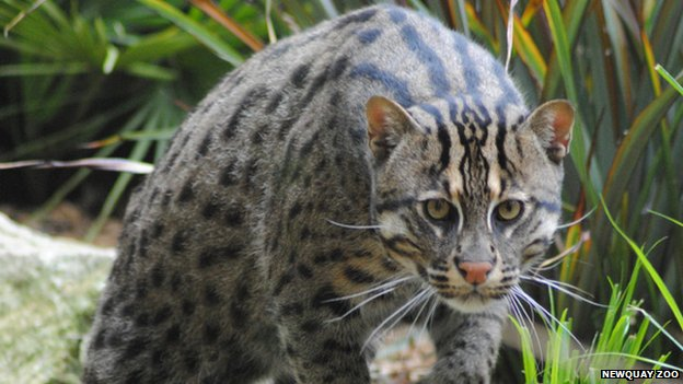 Otto the rare fishing cat.