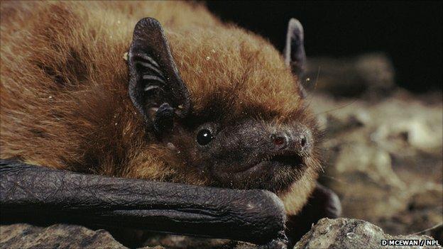 Common pipistrelle (c) Duncan McEwan / Naturepl