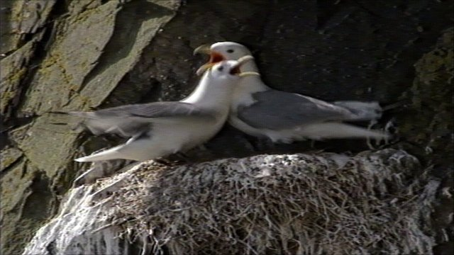 Kittiwakes