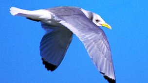 Kittiwake