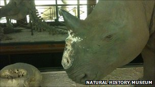 Taxidermy rhino with horn missing