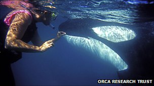 Ingrid with the killer whales (c) Orca Research Trust