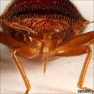 Bed bug (R Naylor, U Sheffield)