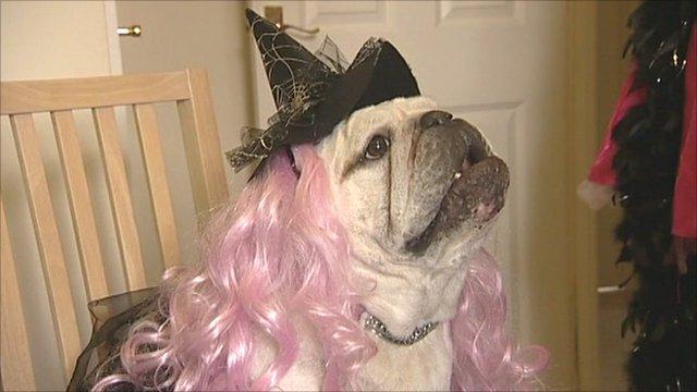 Dressed up bulldog