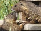 Two yellow-bellied marmots