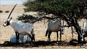 Oryxes in Oman