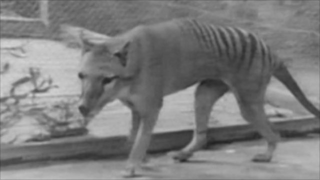 Tasmanian tiger