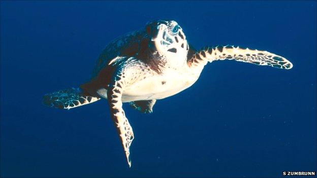 Hawksbill turtle (Image: Sterling Zumbrunn)