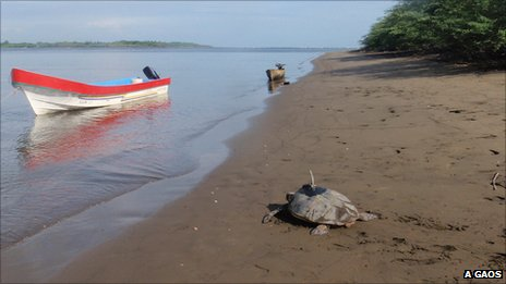Hawksbill turtle crawling out to see with a satellite tracker on its back (Image: Alexander Gaos)