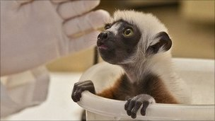 Coquerel's sifaka baby in weighing tub (c) BBC/Duke Lemur Centre