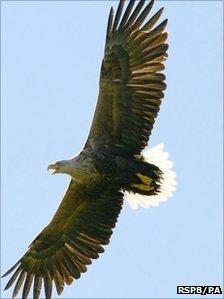 Sea eagle. Pic: RSPB/PA