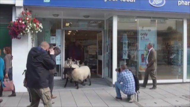 Sheep running from the Boots store