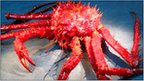 King crab from Palmer Deep (Craig Smith)