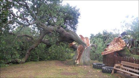 Fallen oak at Ysgol Bro Cinmeirch Photo: Denbighshire Council