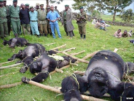 Dead gorillas in DRC