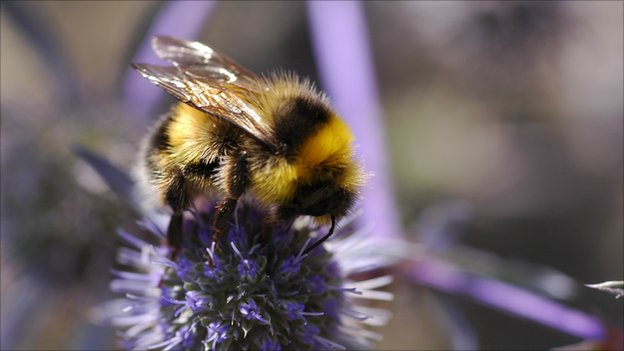 White-tailed bumblebee (c) Dave Goulson