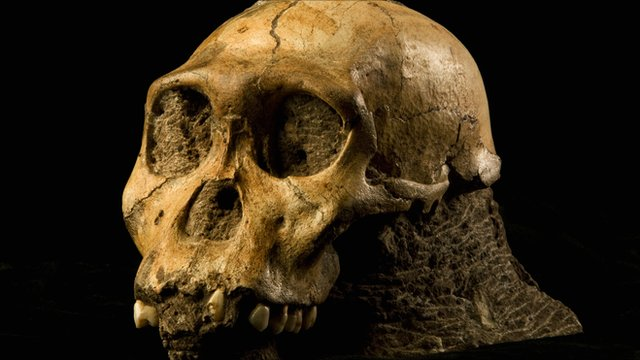 Australopithecus sediba skull (B Eloff/ University of Witwatersrand)