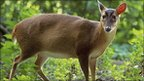 Muntjac deer (Image: BBC)