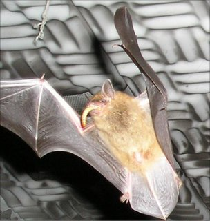Close-up of a big brown bat catching a mealworm (Image: Genevieve Spanjer Wright)
