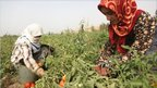 Young women pick tomatoes in a field