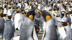 King penguin pair (Image: FS Dobson)