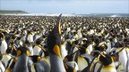A king penguin calling (Image: FS Dobson)