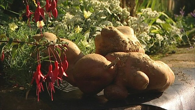 The world's heaviest potato, as recognised by the Guinness Book of Records, unearthed in a garden in Hallam, Nottinghamshire