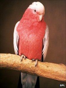 Australia's roseate cockatoo