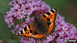 Small tortoiseshell. Pic: Jim Asher