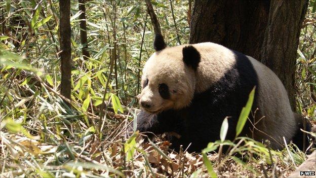 Giant panda in Foping Nature Reserve (Image: Fuwen Wei)