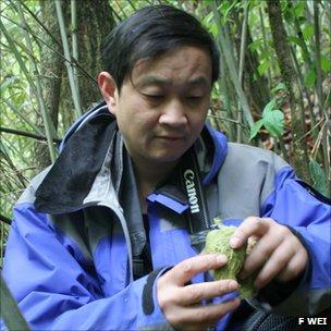 Researcher Fuwen Wei examining a sample of panda dung (Image: Fuwen Wei)