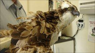 Osprey with vet