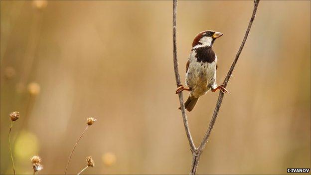 Italian sparrow (Image: Ivan Ivanov)