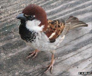 Italian sparrow (Image: Elin Hjelle)