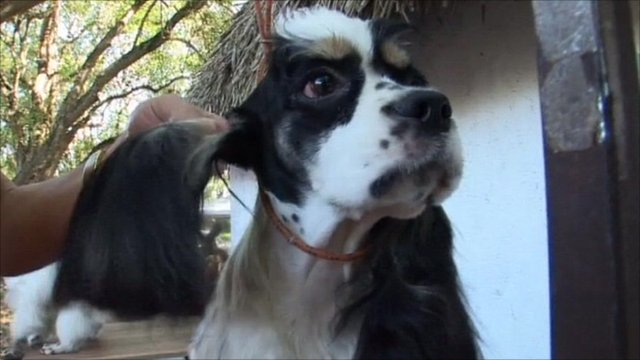 Dog preparing to participate in 'dog show' in Cuba
